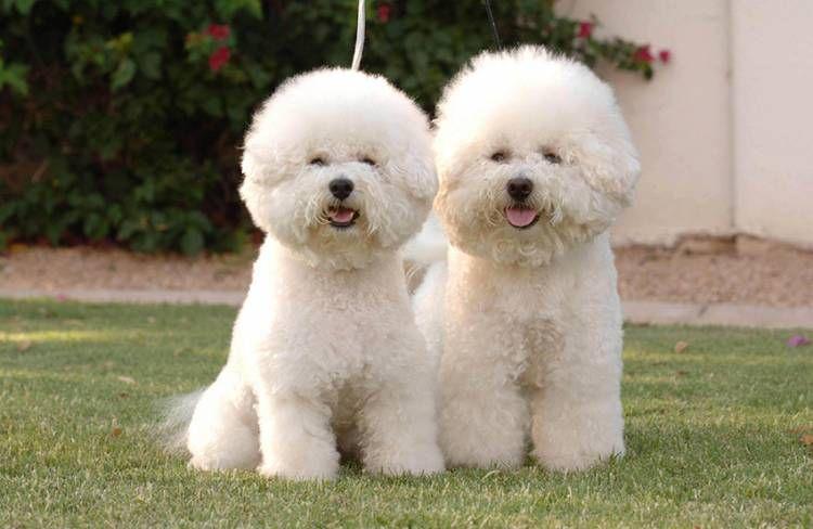 Bichon Frise Bichon Frise Dogs Bichon Frise Puppy