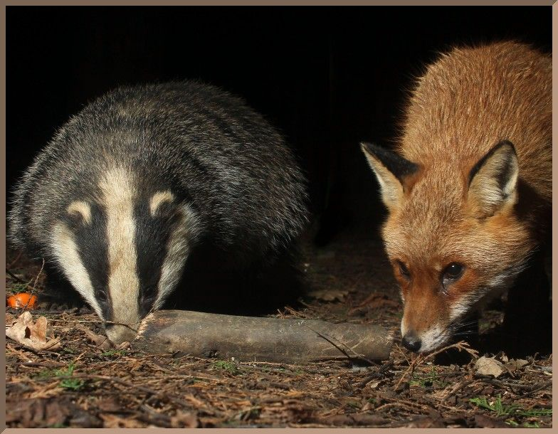 20160307_e64_20160202_0238_078+0023_076_fb2 badger and fox at same scale (montage)(r+mb id@768).jpg (784×610)