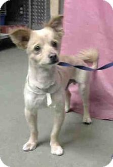 San Bernardino Ca Chihuahua Mix Meet Urgent On 7 20 Devore A Dog For Adoption Http Www Adoptapet Com Pet 1 Pets Kitten Adoption Chihuahua Mix