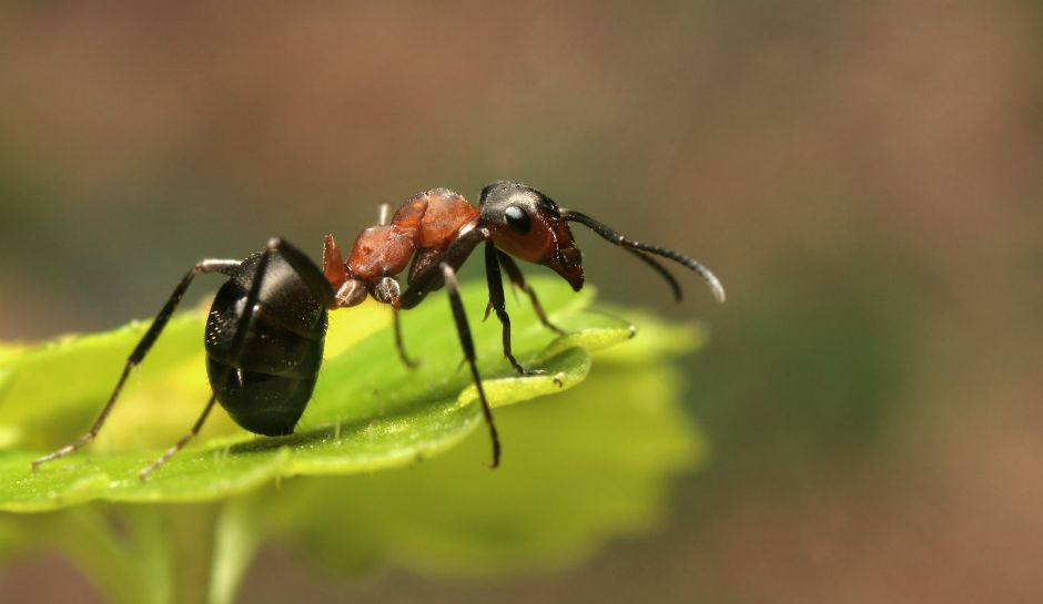 Zombie Ant Infected By Fungal Parasite But Left Its Brain Unharmed Ants Brain Help Leaf Images