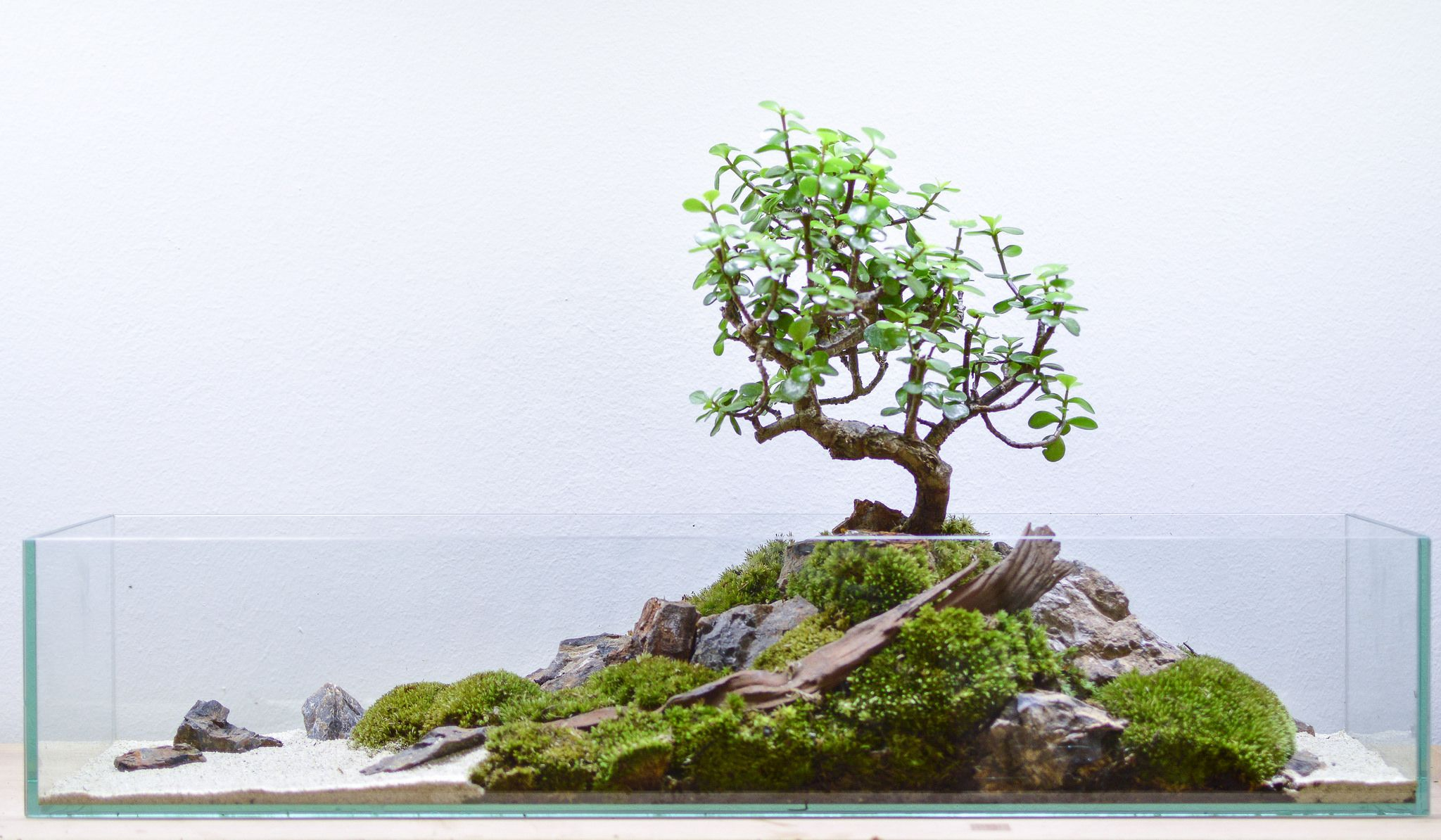 Cura Del Ficus Benjamin long terrarium with a portulacaria afra bonsai (with images
