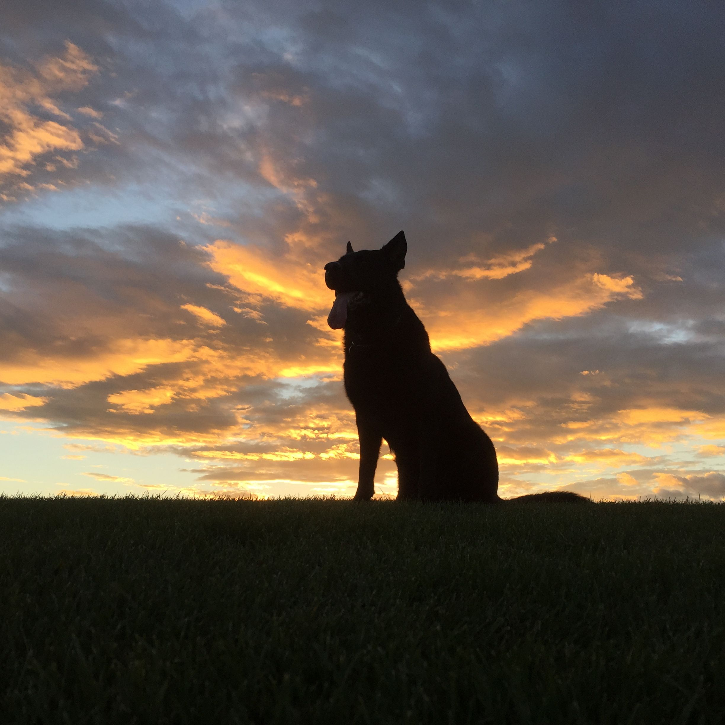 The Black Dog A Loyal German Shepherd Stands Before A Beautiful