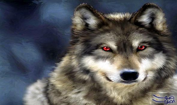 الذئب الرمادي أكبر الأعضاء البري ة من فصيلة الكلبيات الذئب الرمادي الذي ي عرف أيض ا بأسماء متعددة مثل ذئب الغ Wolf With Red Eyes Wolf Wallpaper Wolf Pictures