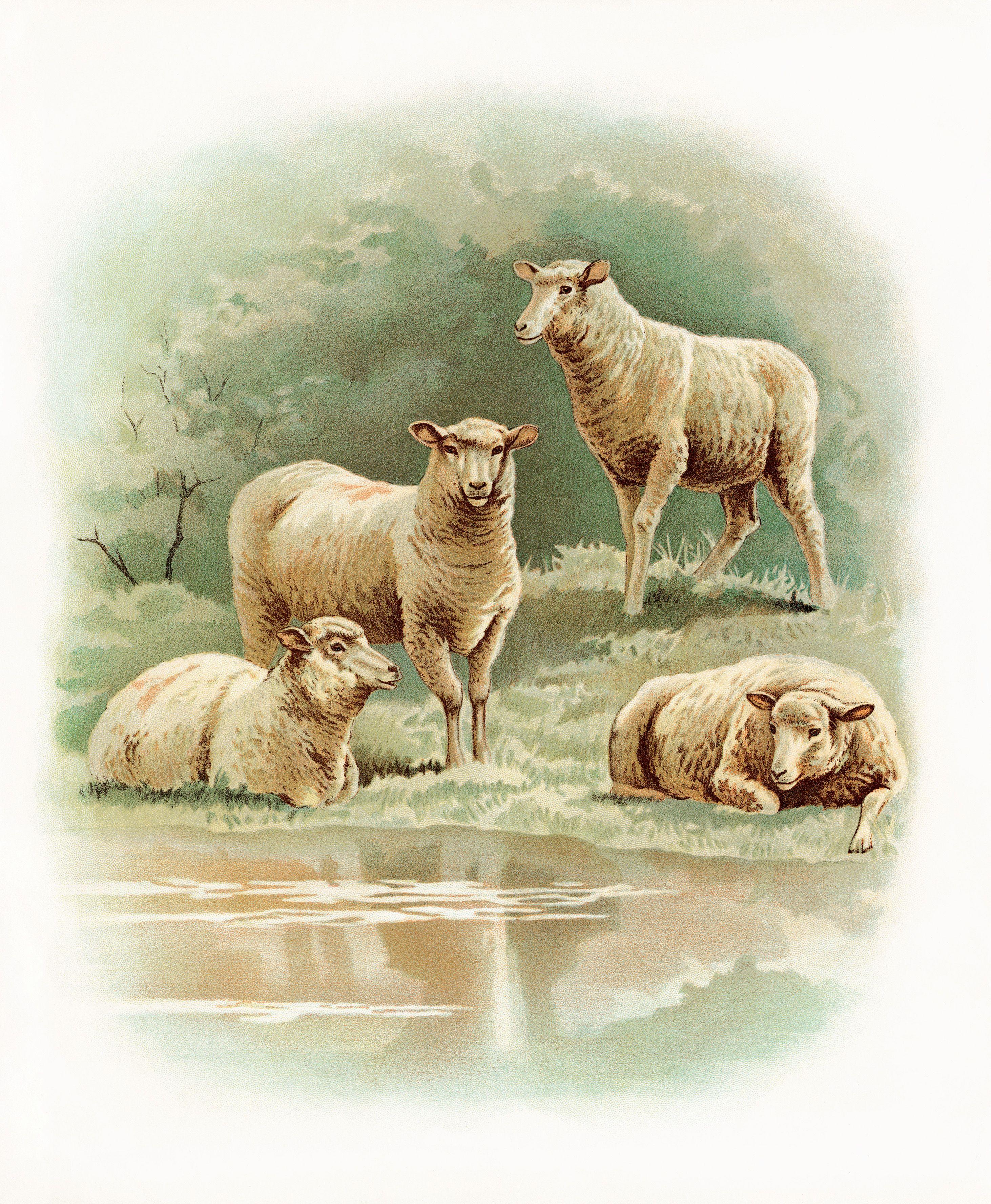 овца и мышь картинки
