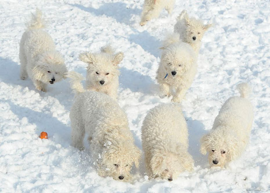 No Business Like Snow Business Havanese Puppies Puppies
