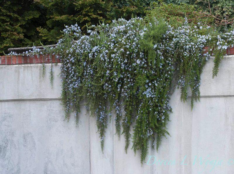 Image result for rosmarinus prostrata Plants