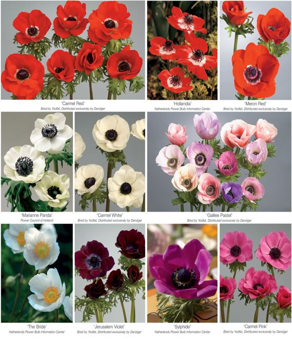 Pin By Camilla Lyle On Florist Anemone Flower Flower Names Ranunculus Flowers