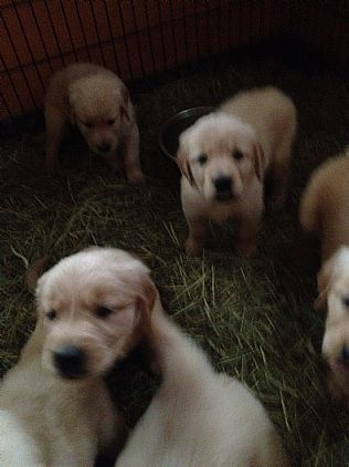 Golden Retriever Puppies Pet Dog Puppies For Sale In Lake George