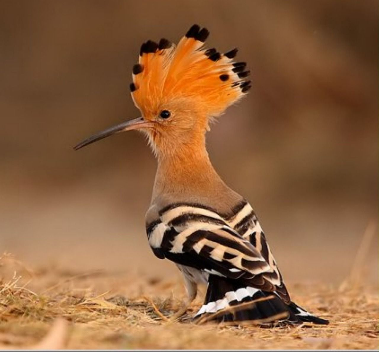 The hoopoe bird lives in Eurasia and is not seen in the county, but The Wisdom Bird book in our library tells the folklore story of how it got its golden crown. It is the national bird of Israel. All Gods Creatures, Cute Creatures, Beautiful Creatures, Exotic Birds, Colorful Birds, Love Birds, Beautiful Birds, Hoopoe Bird, South African Birds