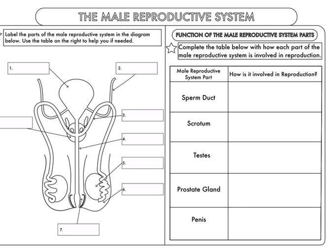 School Reproductive System Diagram Download Wiring Diagrams