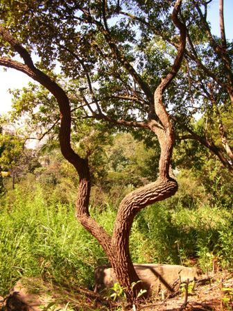 Fotos Plantas Do Cerrado Jardinagem Plantas Do Cerrado E Campos