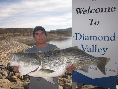 THE STRIPED BASS BITE picked up last week at Diamond ...