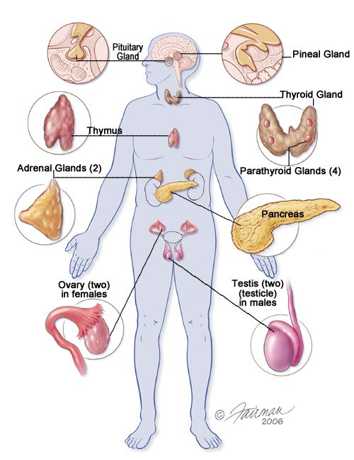 Human Physiology Endocrine System The Explanation Of Endocrine