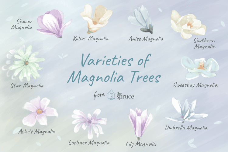 Magnolias Produce Gorgeous Blooms In Early Spring Saucer Magnolia Tree Magnolia Tree Types Magnolia Trees