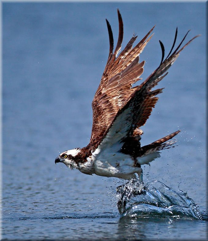 Osprey (Pandion haliaetus) One of the most widespread birds of ...