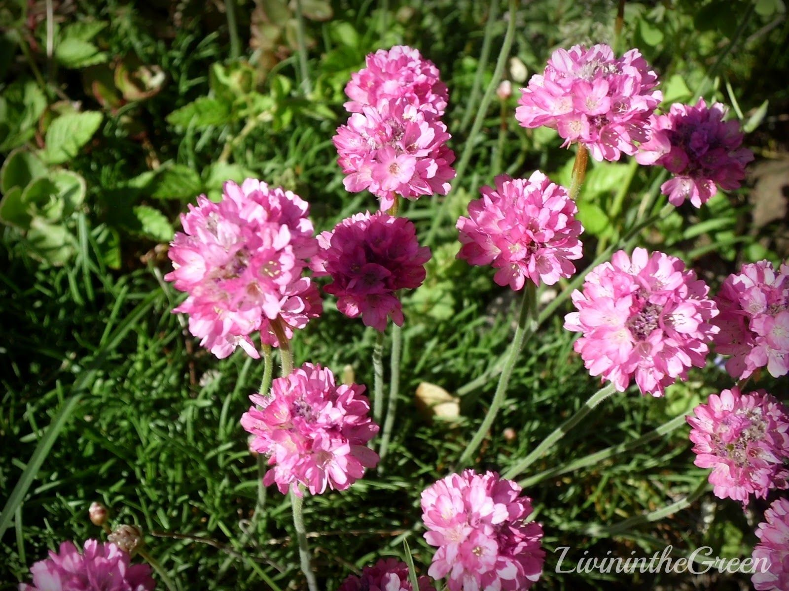 Low Growing Perennial Flowers Types Of Perennial Flowers Armeria