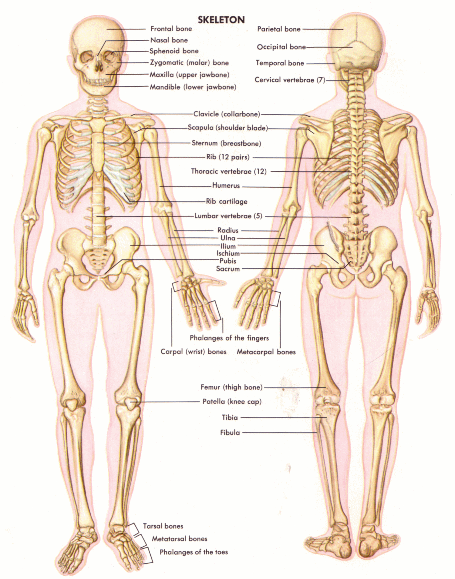 Uncategorized Skeletal System Worksheet Answers the axial skeleton is most important part of skeletal system as without it the