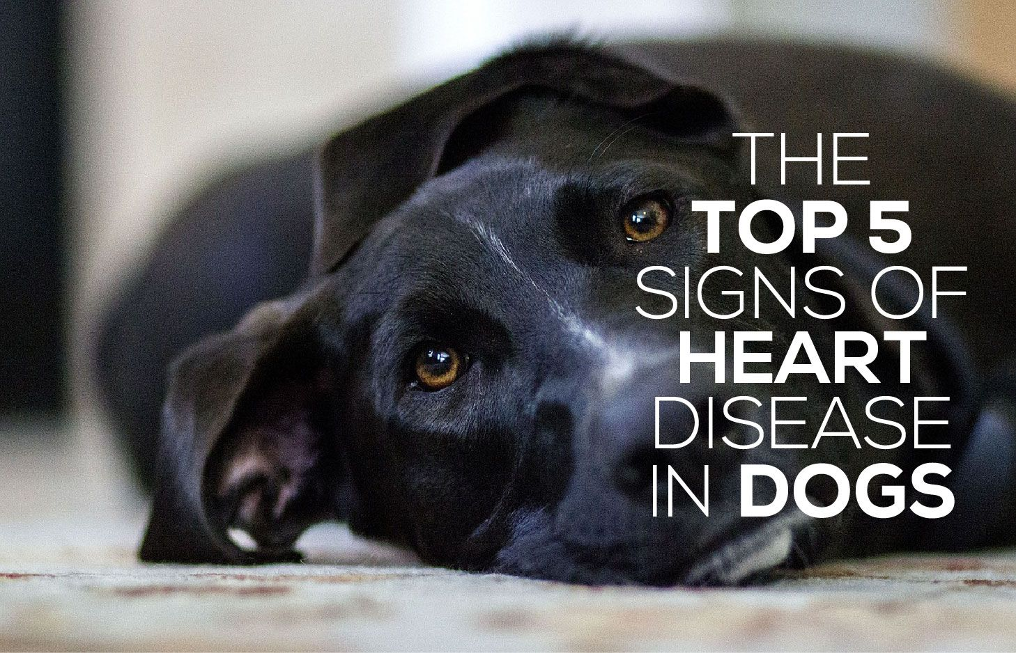 The Top 5 Signs of Heart Disease in Dogs Cat fleas, Dogs
