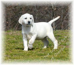 Georgia Lab Puppies Lab Puppies Labrador Retriever Puppies Labrador Retriever