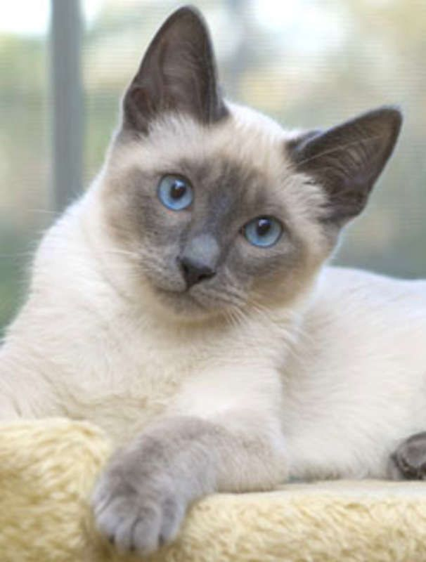 Blue Seal Point Siamese Siamese Kittens In Maryland Chocolate
