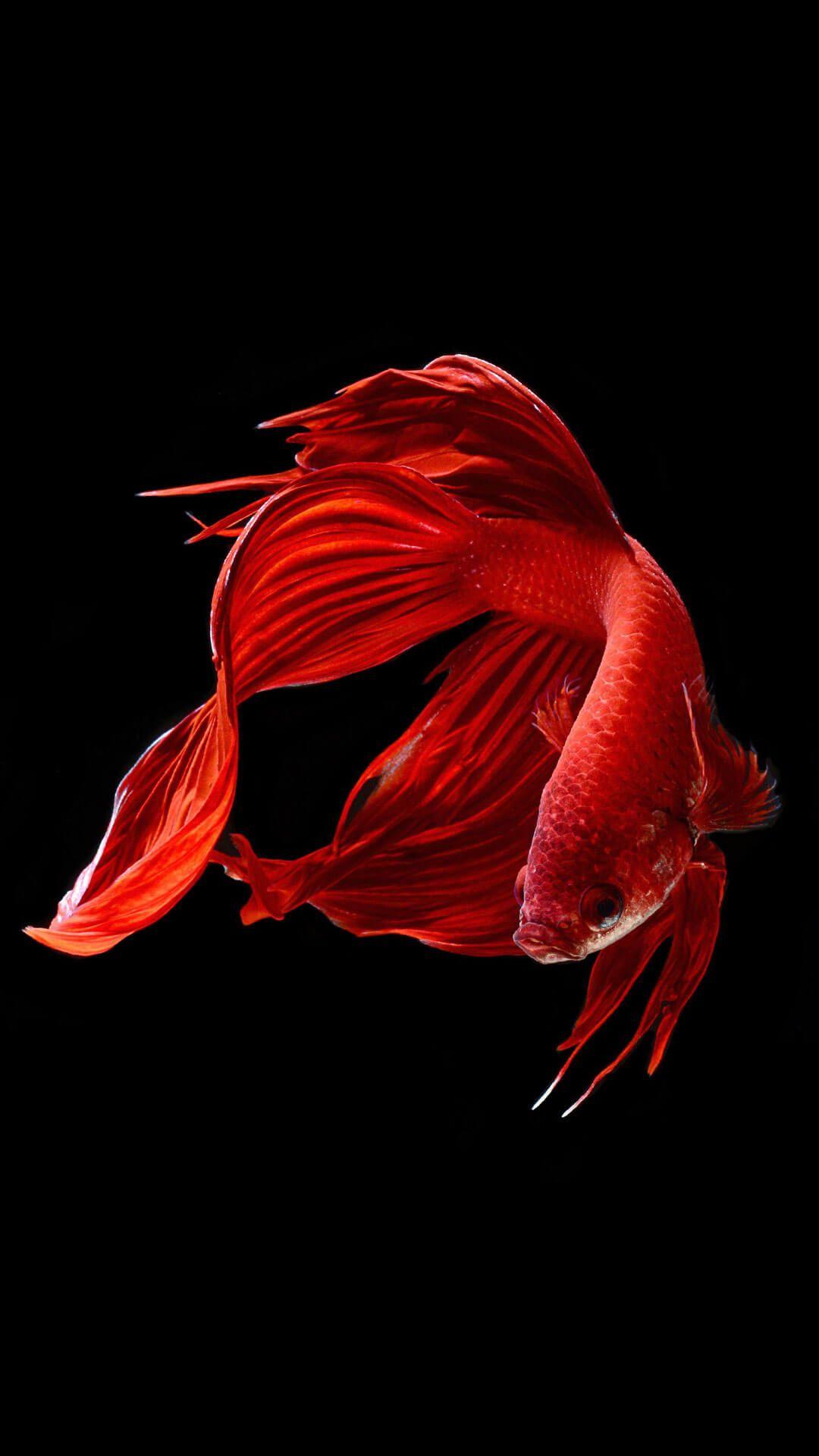 Wallpaper iphone fish - Betta Fish Wallpaper Ios 9 Hd