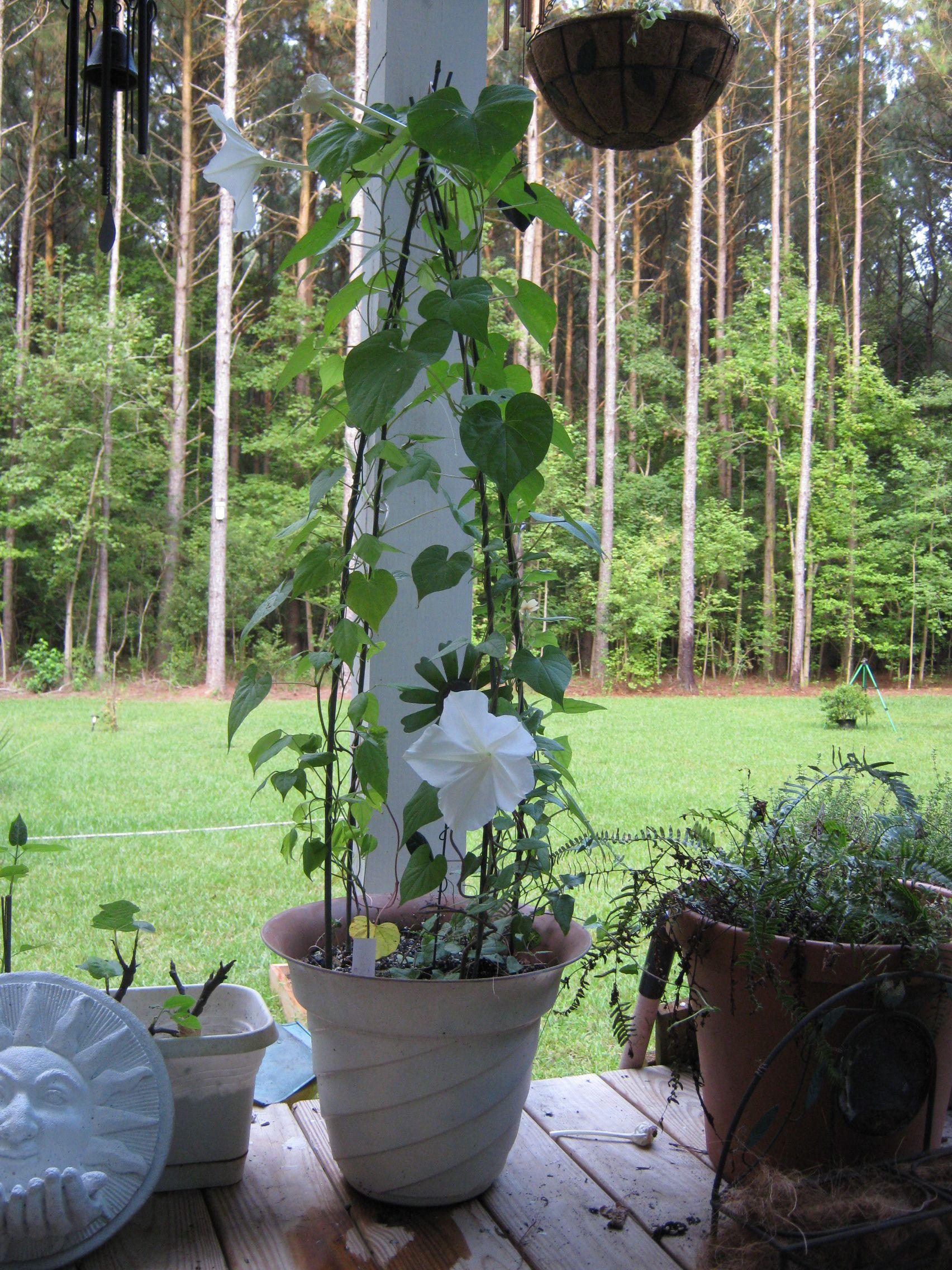 "Night blooming, scented, Ipomoea alba ""Moonflower"" best in container"