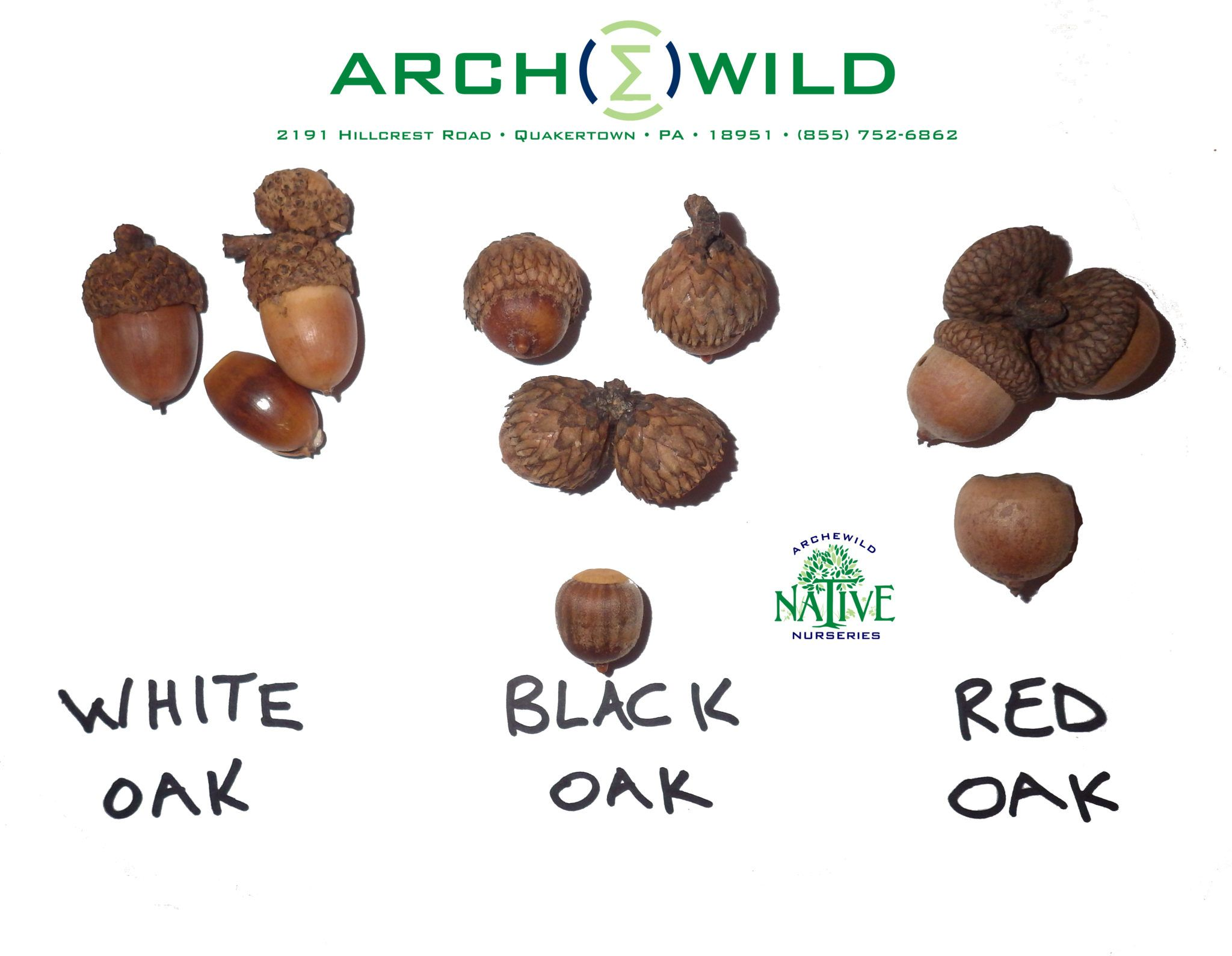 Acorns of pa oak trees red oak black and red planting