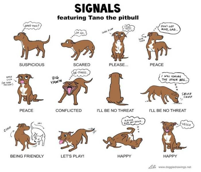 American Bully Vs Pitbull Terrier Know The Difference About The Adorable Dog Breeds Dog Body Language Pitbull Quotes Pitbulls
