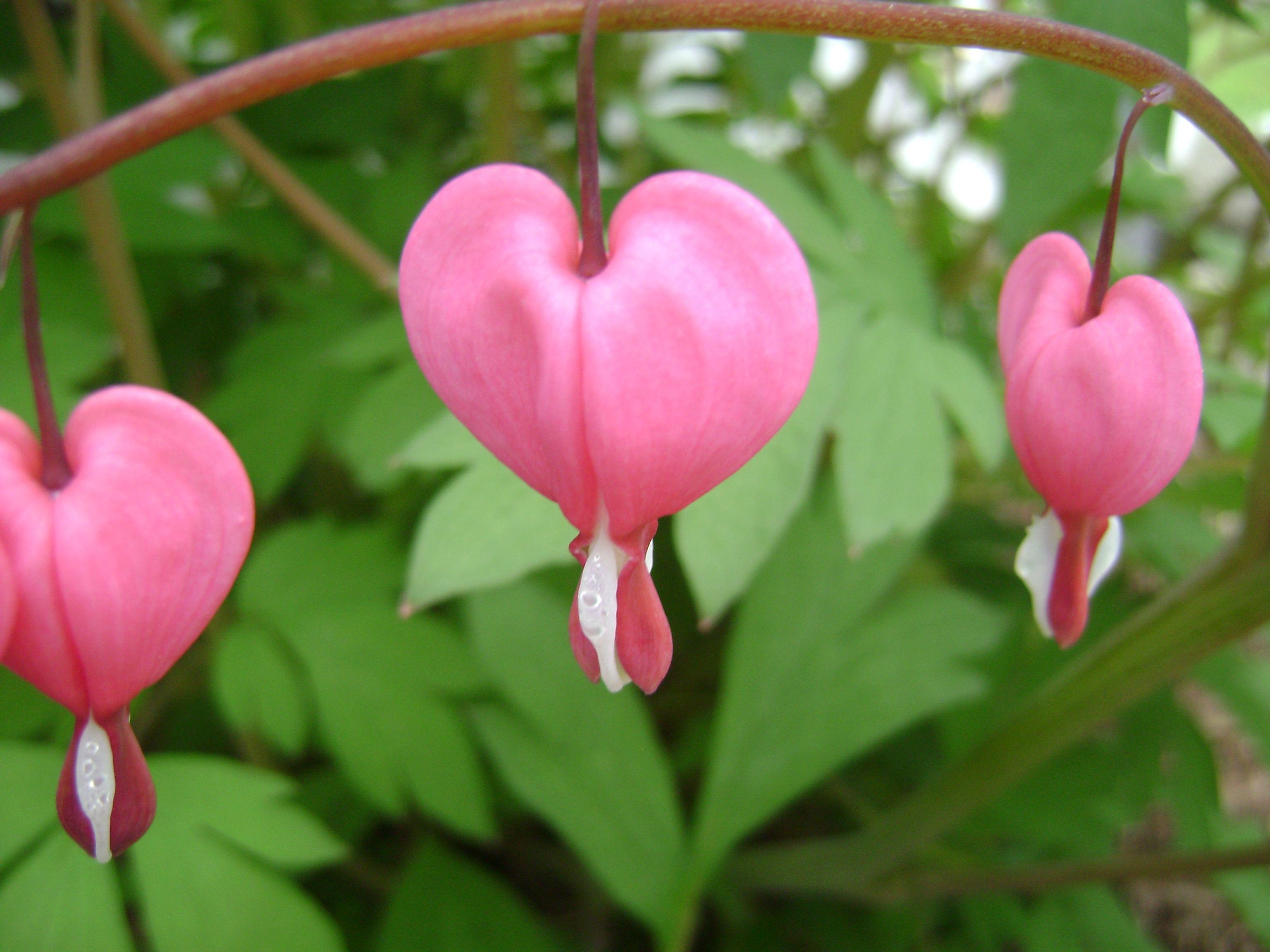 love heart shaped flowerflower - photo #22