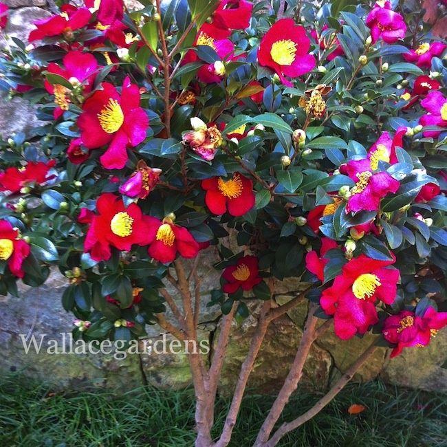 Camellia sasanqua tuletide camellia sasanqua 39 yuletide - Camelia planta ...