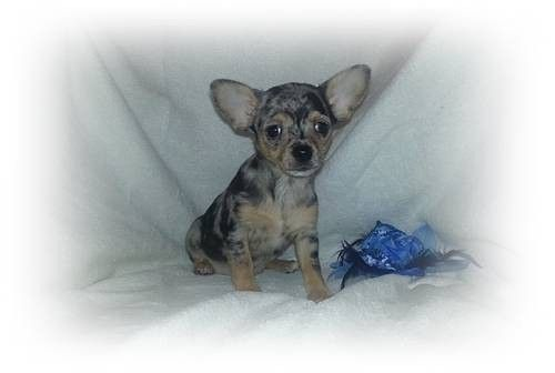 Rare Ckc Reg Full Blue Merle Applehead Chihuahua Puppy 9 Weeks