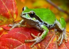 leaf animals frogs amphibians Wallpaper - Pet care is both enjoyable business. B... -  - #Amphibians #Animals #business #care #enjoyable #Frogs #leaf #Pet #Wallpaper