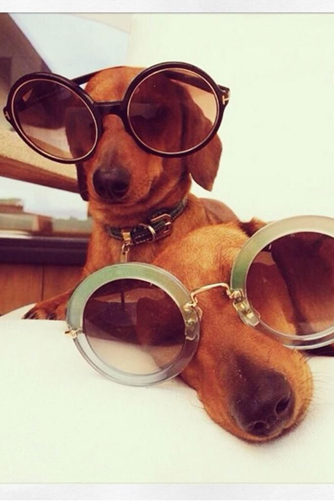 Looking cool in our designer glasses... Rosie Huntington-Whiteley's fashion-forward dachshunds, Dolly and Peggy.   -