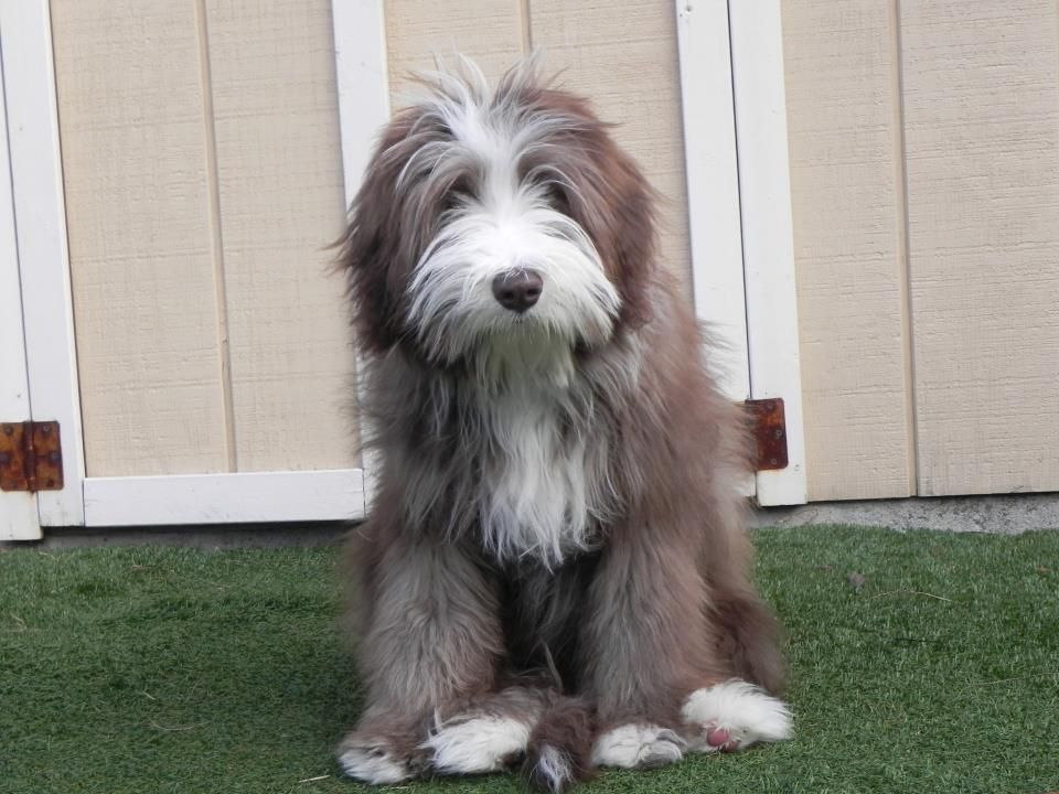 Murphy Bearded Collie Love This Age Bearded Collie Puppies