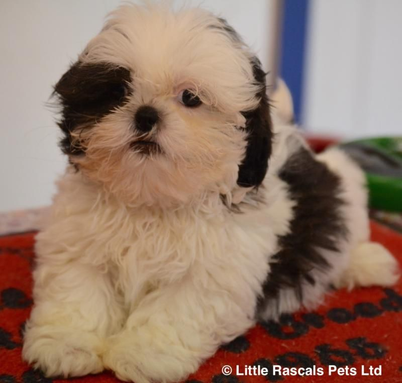 Playful Shih Tzus Pedigree Puppies For Sale Puppies For Sale