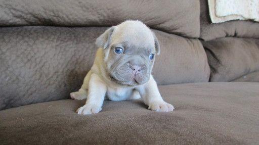 French Bulldog Puppy For Sale In Chehalis Wa Adn 39666 On