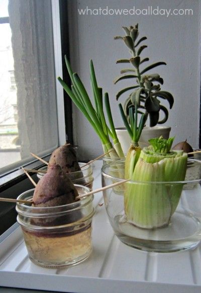 More plant science regrowing vegetables from scraps indoor more plant science regrowing vegetables from scraps workwithnaturefo