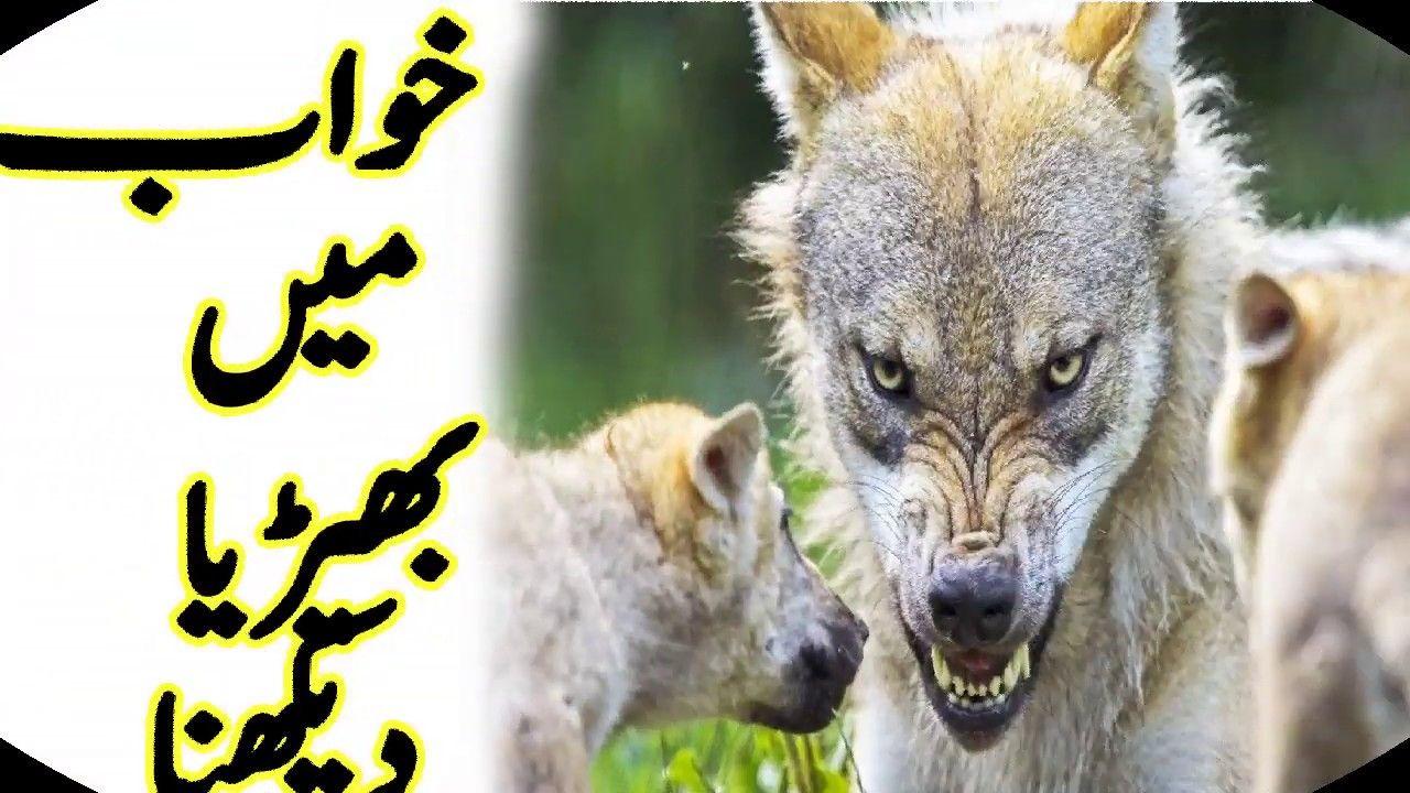 Interpretation Of Wolf In Dream  Khawab Mein Bheria Dekhnay