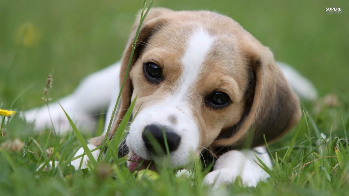 Beagle Puppy Cute Beagles Beagle Puppy Beagle Dog