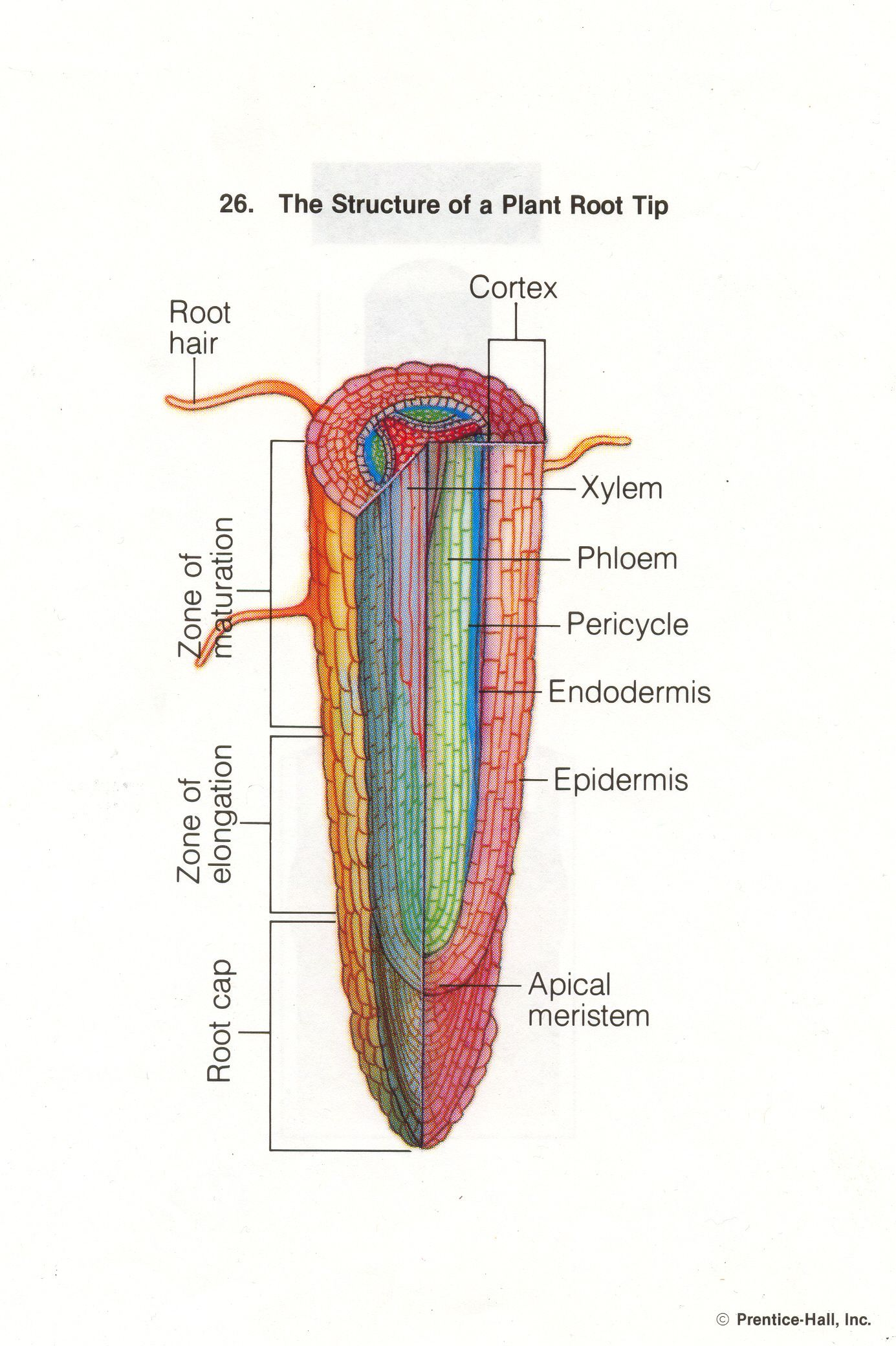 Httpthomsonstersciencebiologyunit protistsfungiplants26 httpthomsonstersciencebiologyunit protistsfungiplants26 plantroottipg bot pinterest botany cell structure and plant cell structure ccuart Choice Image
