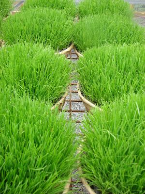 Grow your own wheat grass in just 2 weeks.  Wish I had seen this earlier in time for Easter.