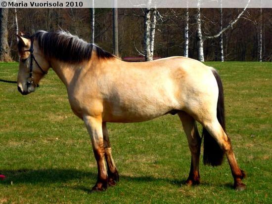 Estonian Native / Klepper - gelding Ventur