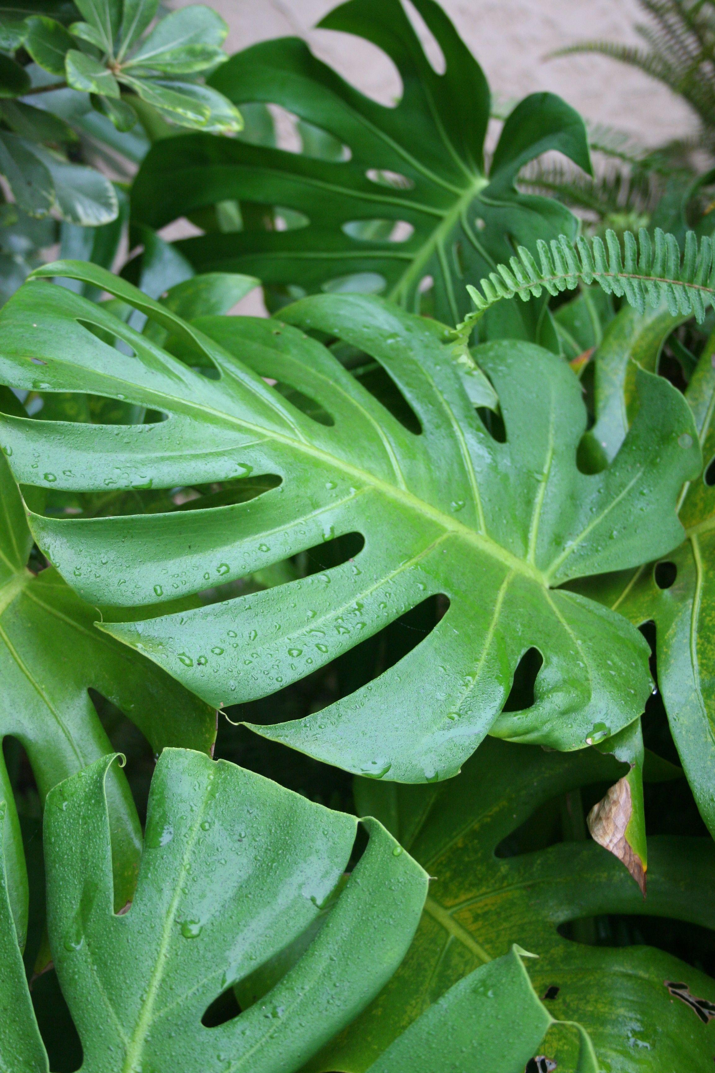 Monstera Leaf Monstera, Plant leaves, Monstera leaf