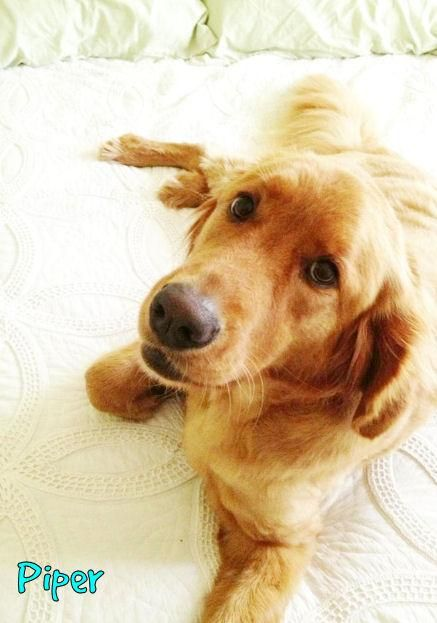 Many Available Golden Retrievers Neuse River Gr Rescue Nrgrr
