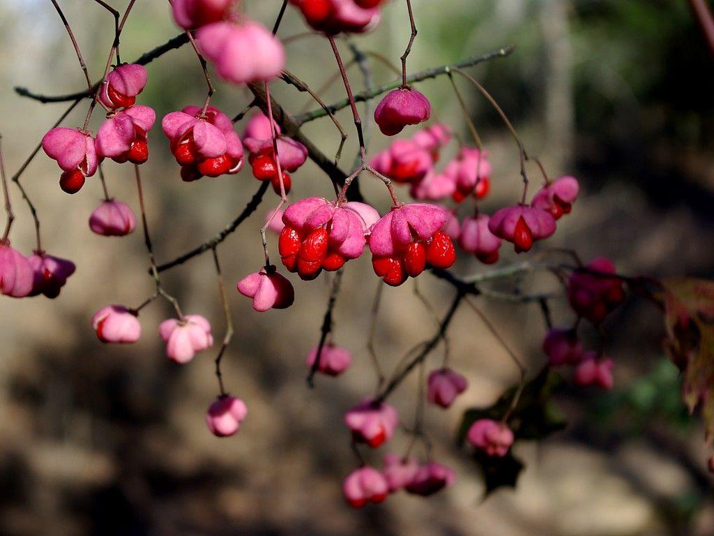 Euonymus Atropurpureus A Crosstimber Naturalist Winter Garden Autumn Garden Small Trees