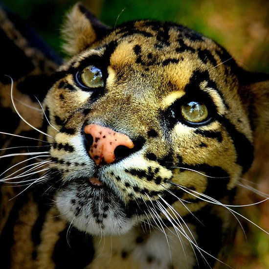 ~~ Clouded Leopard ~~ stunning. We need to take better care of this planet. It doesn't belong to JUST us.