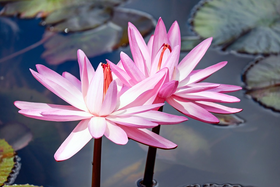 Free Image on Pixabay Water Lilies, Lily Pink, Flowers