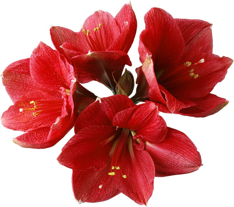 Red_Orchid_PNG_Clipart.png (800×706) | IMAGENES PNG ...