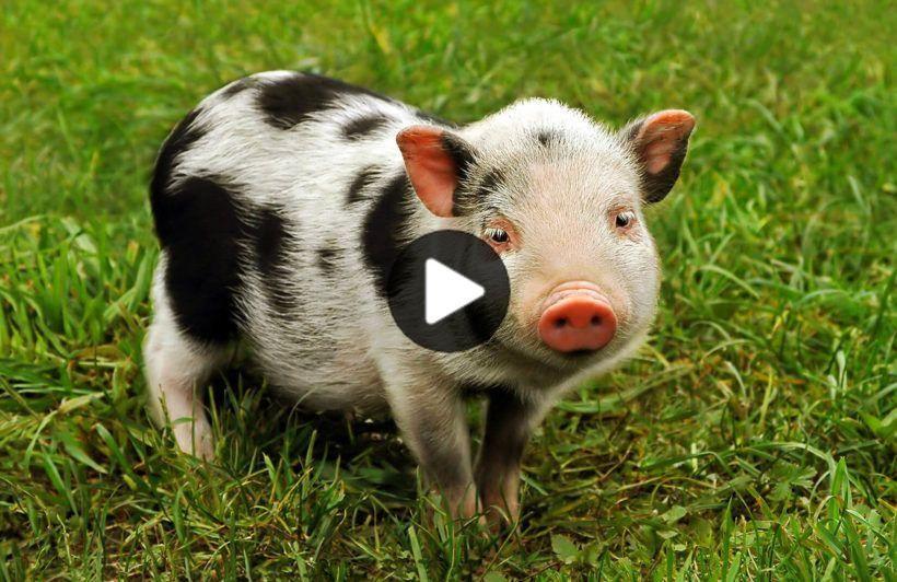pig-animal-plain #cutestanimals #animalsart