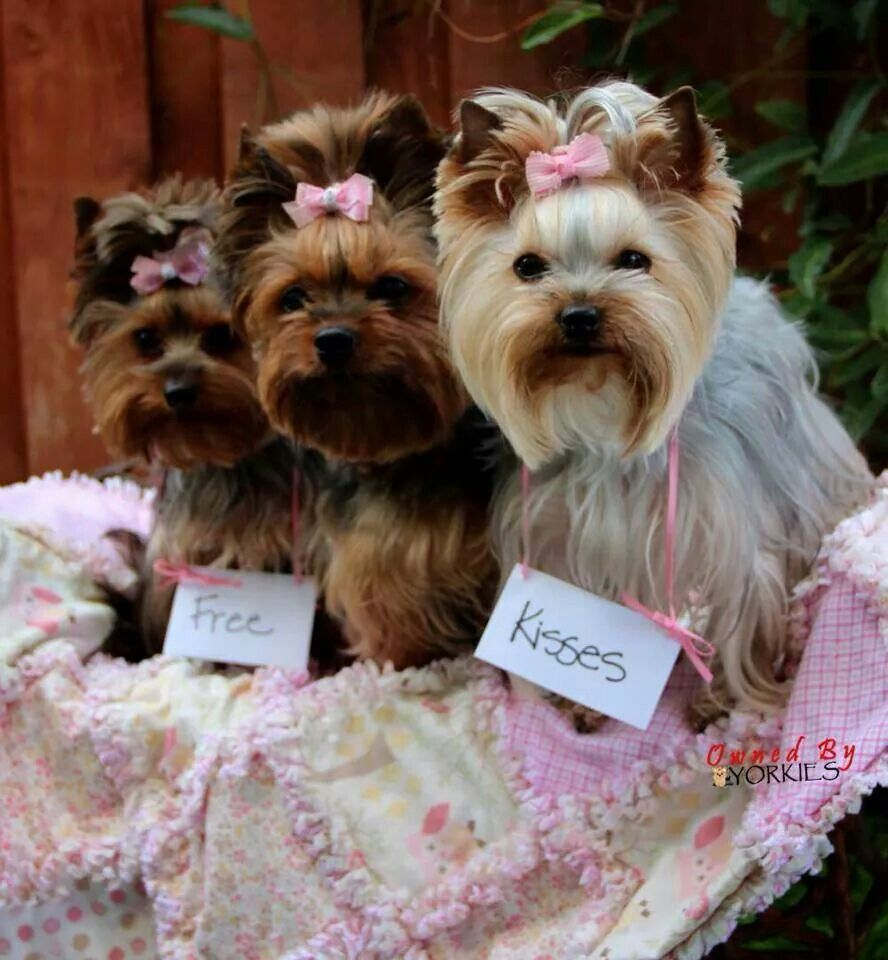 Three Yorkies.